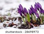 purple crocuses through the snow | Shutterstock . vector #28698973