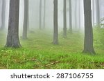 Spring Beech Forest With Mist...