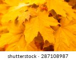 wet maple leaves  close up view   Shutterstock . vector #287108987