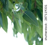 eucalyptus tree branch  white... | Shutterstock . vector #287119331