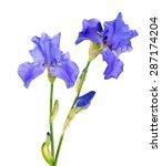Blue Iris Flower Isolated On...