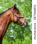 Small photo of Warmblood horse portrait