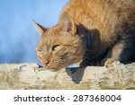 Stock photo closeup of a ginger cat ready to pounce 287368004
