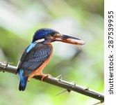 Small photo of Beautiful bird, female Blue-eared Kingfisher on feeding time.(Alcedo meninting)