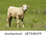 Crossbreed Calf From A...