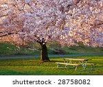 Bench Under Cherry Blossoms