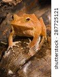Solomon Island Eyelash Frog ...
