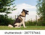 American Akita Guard Dog...