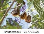 Jacaranda Tree Pods  Seeds