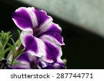 Common Petunia's Purple White...