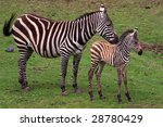 Grevy Zebra With Foal On A...