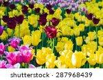 Colorful Flowers  Petal Tulip...