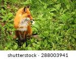 red fox in the grass | Shutterstock . vector #288003941