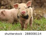 Cute piglet on the meadow