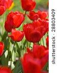nature series  macro of red... | Shutterstock . vector #28803409