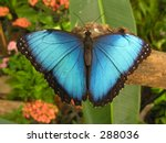 Large Blue Butterfly  Morpho ...