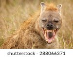 Hyena Laughing Straight At The...