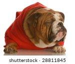 English Bulldog In Red Sweater...