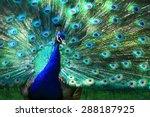 peacock displaying his plumage   Shutterstock . vector #288187925