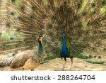 Male Peacock  Show Female...