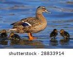 mallard duck guarding ducklings | Shutterstock . vector #28833914