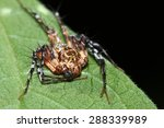 jumping spiders. | Shutterstock . vector #288339989