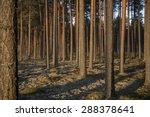 Pine Forest In Sunsets. Image...