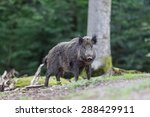 Wild Boar Coming From Forest
