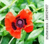 Top View Of Red Poppy Flower...