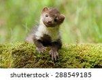 nice marten | Shutterstock . vector #288549185