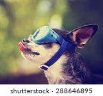 a cute chihuahua wearing... | Shutterstock . vector #288646895
