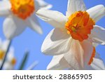 Spring daffodil Flowers - stock photo