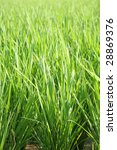 green grass background - rice - stock photo