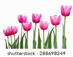 row of pink tulip flower plant... | Shutterstock . vector #288698249