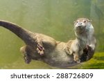 Young European Otter  Lutra...