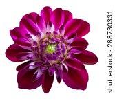 pink  chrysanthemum dahlia... | Shutterstock . vector #288730331