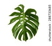 Large Green Shiny Leaf Of...