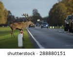 Red Deer Stag Crossing A Busy...
