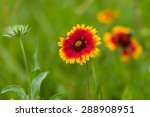 Indian Blanket Flower In The...