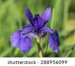 purple iris flower in central...   Shutterstock . vector #288956099