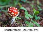 Small Fly Mushroom