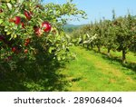 Apple Trees In A Row  Before...