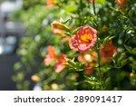 Campsis Grandiflora Along The...