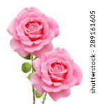 pink roses bunch isolated on... | Shutterstock . vector #289161605