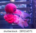 Tropical Fish Red Cichlid