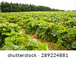 picking strawberries in a... | Shutterstock . vector #289224881