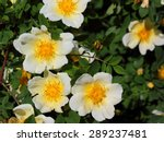 The White Brier Flowers With...