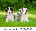 Stock photo two australian shepherd puppies and scottish cat lying on green grass 289267991