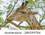 Giraffe Eat The Leaf.