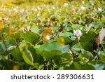 lotus leaf in nature plantation | Shutterstock . vector #289306631